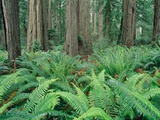 Ferns in forest  Redwood National Park  California  USA