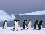 Antarctica  colony of adelie penguins