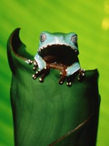 Two-colored tree frog on leaf