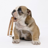 Bulldog Holding Collar