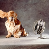 "A Basset Who Is Sitting with ""Flying"" Ears in Front of a Ventilator"