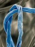 Cotton Fibers