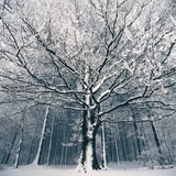 Snowcovered forest