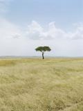 Acacia Tree  Masai Mara National Park  Kenia