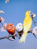 Three different colourful canaries sitting on a branch with blossoms