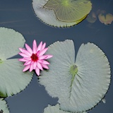 Water Lily on Hoan Kiem Lake  Hanoi  Vietnam