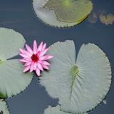 Water Lily on Hoan Kiem Lake  Hanoi  Vietnam