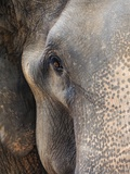 Close-up of Asian Elephant at Elephant Conservation Centre