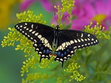 Female Black Swallowtail Butterfly on Colorful Flowers