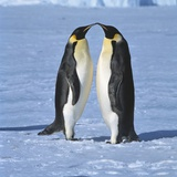 Two Emperor penguins standing face to face  (Antarctic)