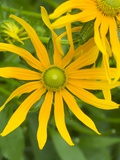 Rubeckia Hirta Flowers