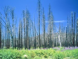 Dying forest in the Yosemite National Park  California  USA