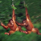 Two Young Orangutans Swinging Past