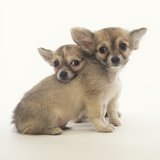 2 Long-Haired Chihuahuas