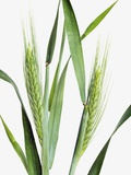 Rye Plant
