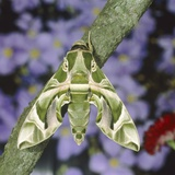 Oleander hawk moth sitting on a branch