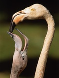 Rose coloured flamingo feeding fledgling