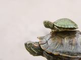 Baby Turtle Riding on Mother's Back