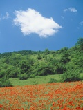 Poppy meadow in landscape