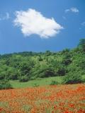 Poppy meadow in landscape