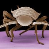 Juvenile Cockroach
