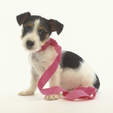 Jack Russell Puppy Wearing Pink Ribbon