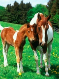 Pied mare with foal in a meadow
