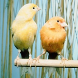 Two canaries sitting on a pole