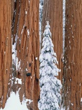 Conifer and redwood forest in winter