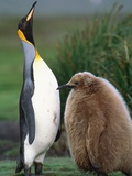 King Penguin Adult and Chick