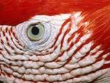 Eye of scarlet macaw