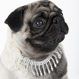 Pug Wearing Pearl Necklace