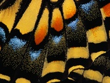 Close-Up of Anise Swallowtail&#39;s Wing