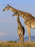 Masai Giraffes Papier Photo par John Eastcott & Yva Momatiuk