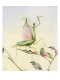Illustration of Praying Mantis by Edward Julius Detmold