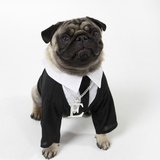 Pug Wearing Shirt  Tie and Necklace