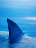 Shark&#39;s Dorsal Fin Cutting Surface of Water