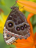 Blue Morpho Resting on an Orange Asiatic Lily