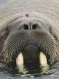 Walrus Looking Straight Ahead