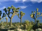 Some Joshua trees in the Joshua Tree national park  california (USA)