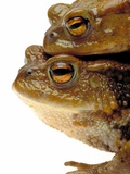Two european toads