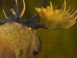 Close-Up of Moose Bull with Large Antlers