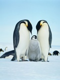 Two emperor penguins with fledgling