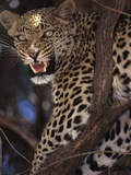Snarling Leopard in Tree