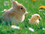Chick and pygmy rabbit in the grass
