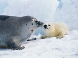 Harp seal mother and pup