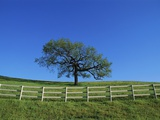 Tree and Fence in Pasture