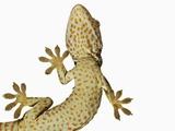 Tokay Gecko From Below