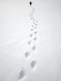 Gentoo Penguin Walking and Leaving Footprints in Snow