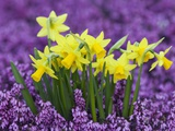 Yellow Daffodils in Purple Heather